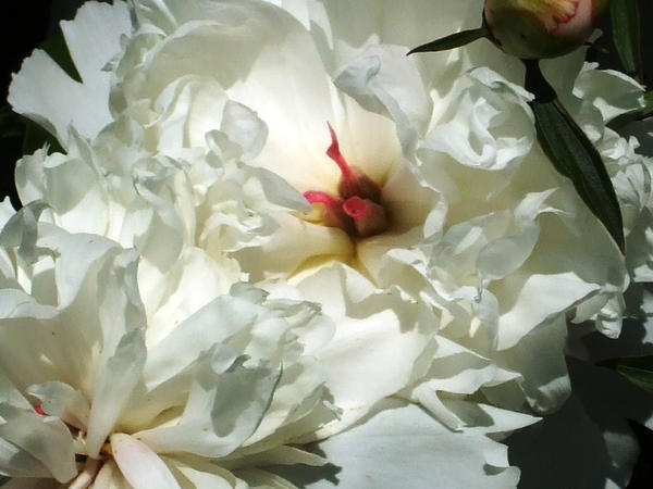 Big puffy white flower bush by greenlee4 on deviantart big puffy white flower bush by greenlee4 mightylinksfo Image collections