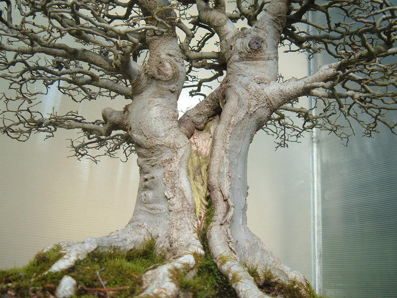 Bonsai 027 by aurochstock on deviantart for Different kinds of bonsai trees
