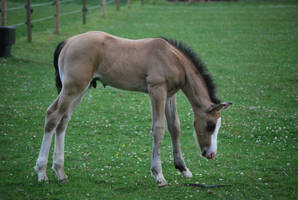 Foal Stock 14 by equinestudios
