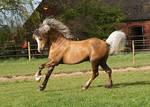 Palomino Stallion Stock