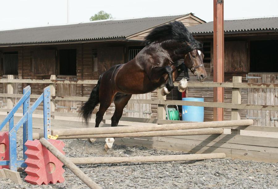 Dark Bay Stallion Stock 6 by equinestudios