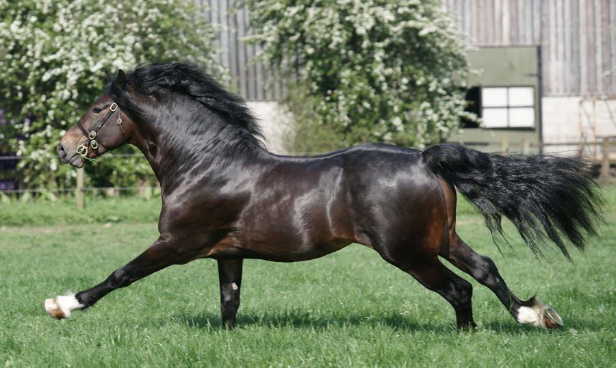 Welsh Stallion 13 by equinestudios