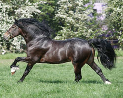 Welsh Stallion 16 by equinestudios