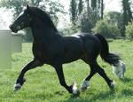 Welsh Stallion 17