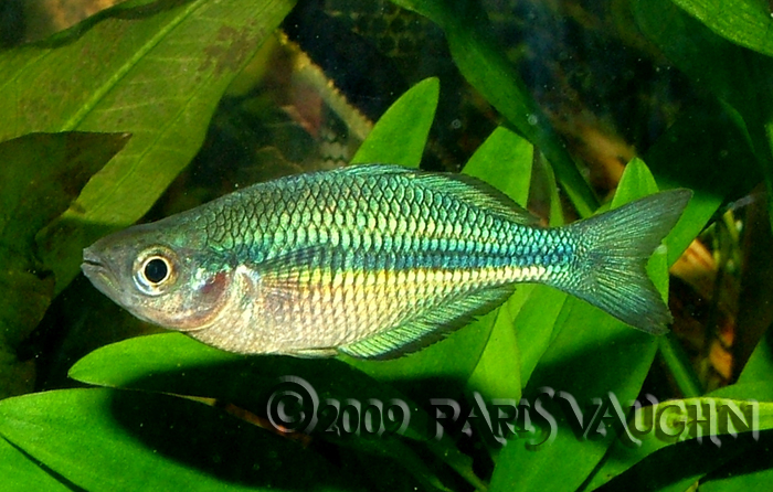 Turquoise rainbowfish by pareeeee on deviantart for Turquoise rainbow fish