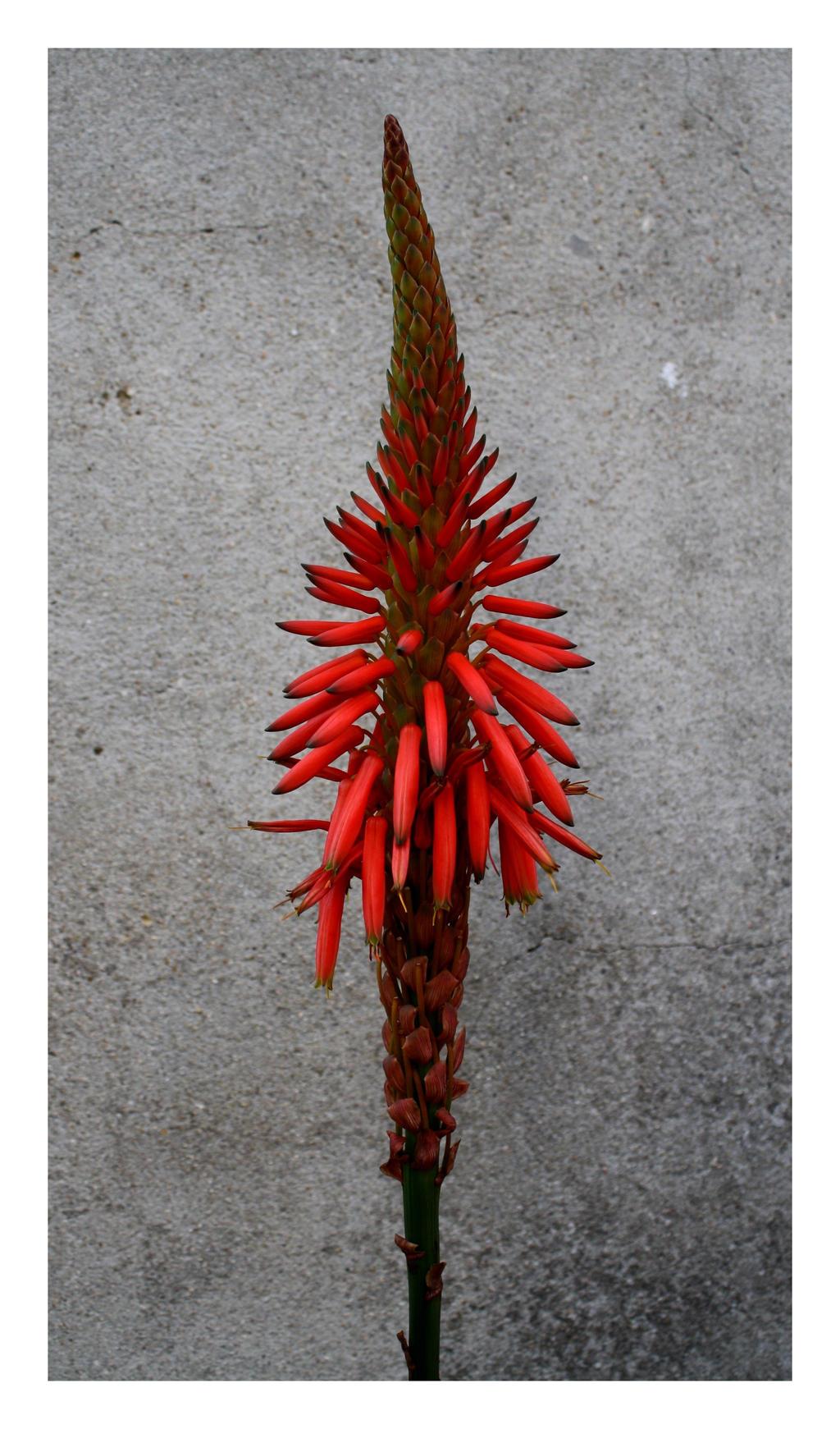 Aloe Vera I by FilipaGrilo