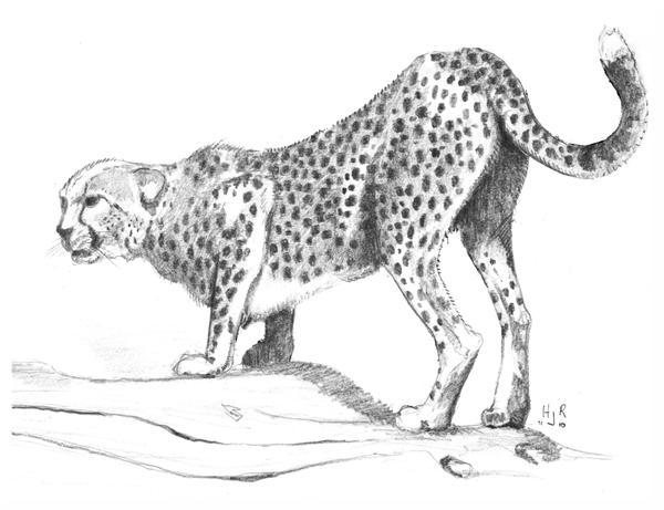 Cheetah By Halfjackrun On Deviantart