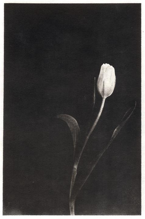 Palladium Tulip by silversmith