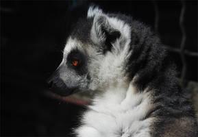 Lemur 01