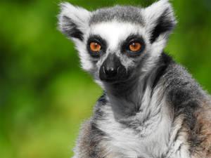 Lemur 02