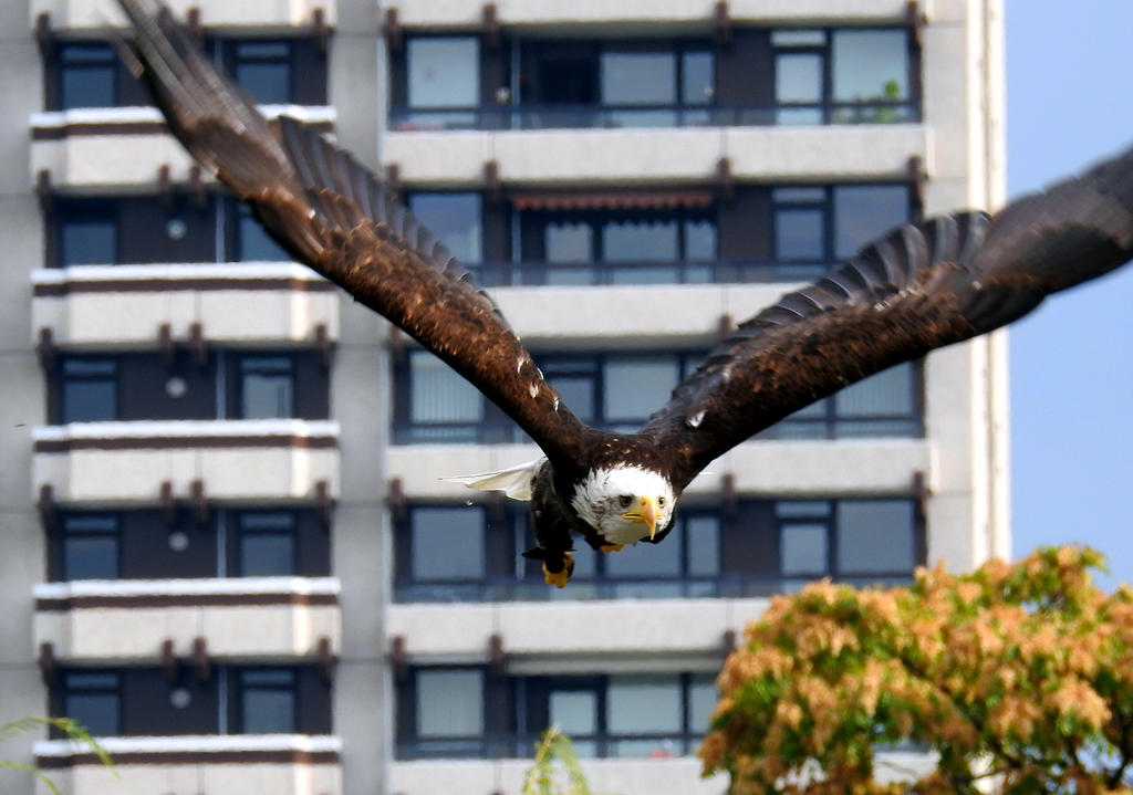 majestic bird of prey, bald eagle by IrishLordofKerry