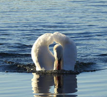 swan attack... by IrishLordofKerry