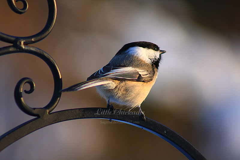 Little Chickadee by Sagittor