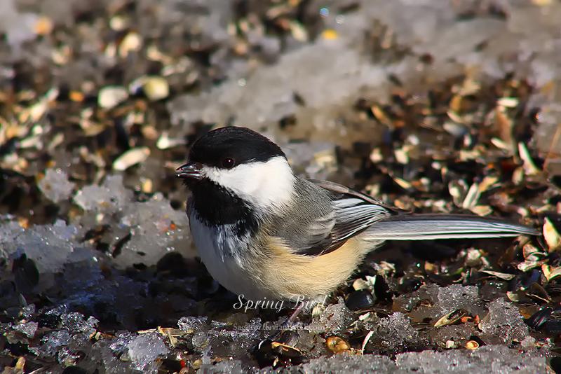 Spring Bird by Sagittor