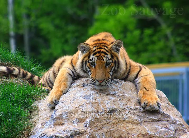 Amur Tiger 7 by Sagittor