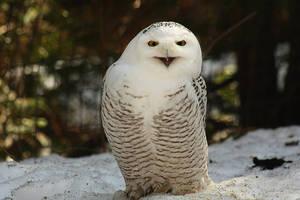 The Snowy Owl by Sagittor
