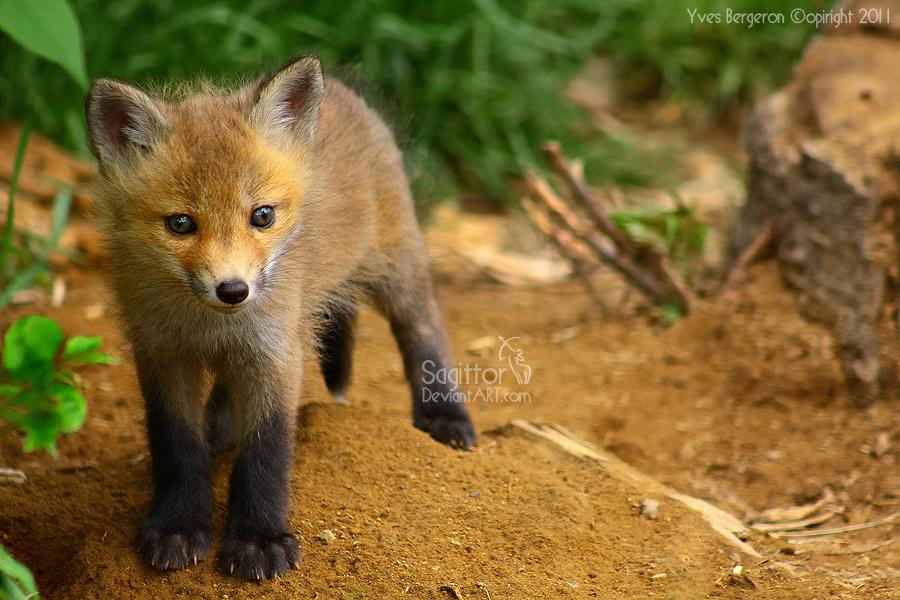 Baby Fox By Sagittor On Deviantart