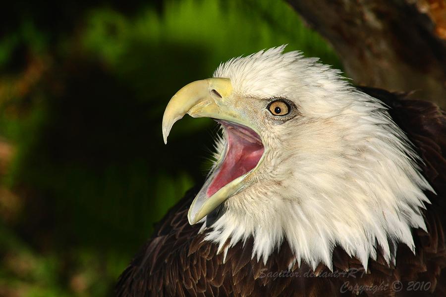 Opera Eagle by Sagittor