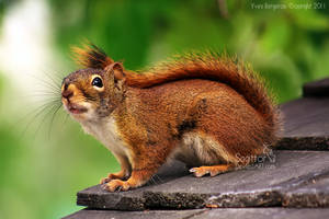 Curious Squirrel by Sagittor