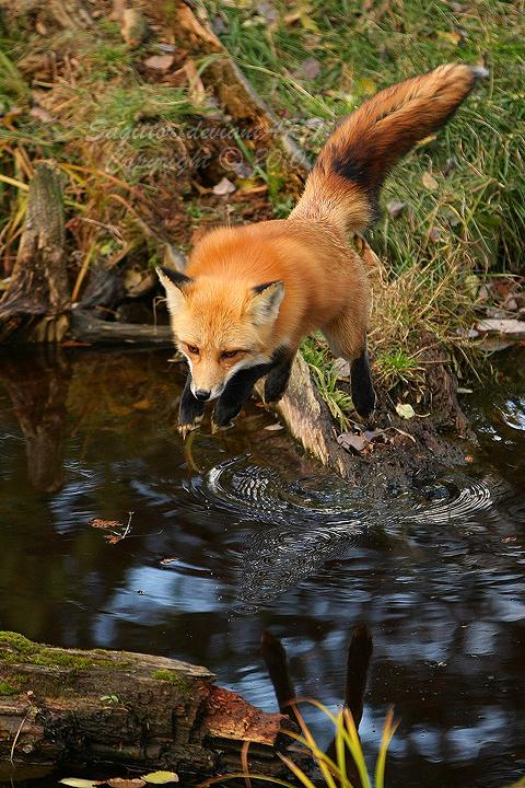 Flying Fox II by Sagittor