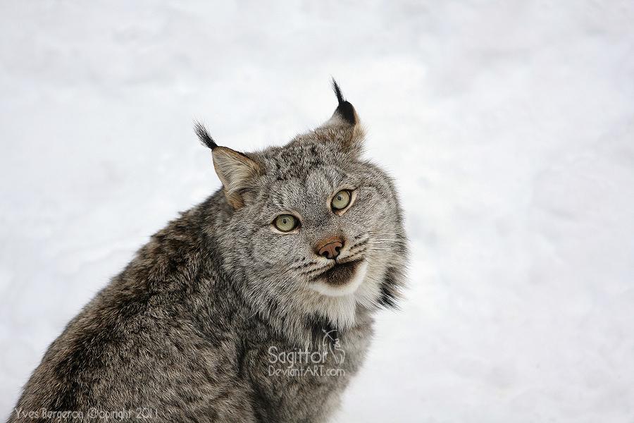 Canada Lynx by Sagittor