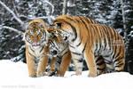 The Three Tigers