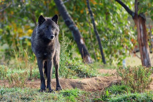 Master Wolf