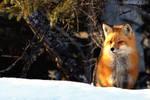 Winter fox