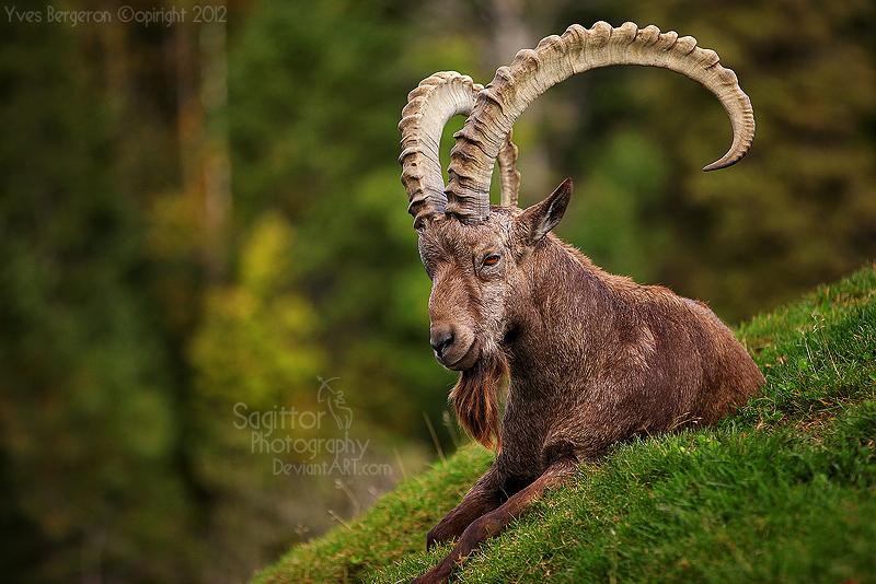 Big Horns by Sagittor