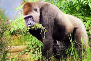Gorillas by Sagittor