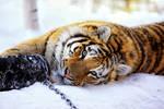 Tiger vs Tire III