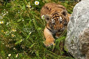 Baby Tiger by Sagittor