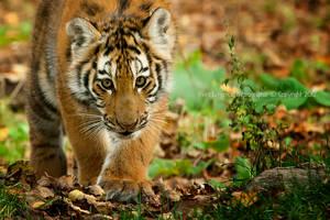 Baby Tiger III by Sagittor
