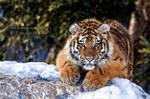 Kouma The Tigress
