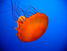 Jellyfish... by photos4ever23