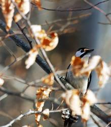 hiding woodpecker
