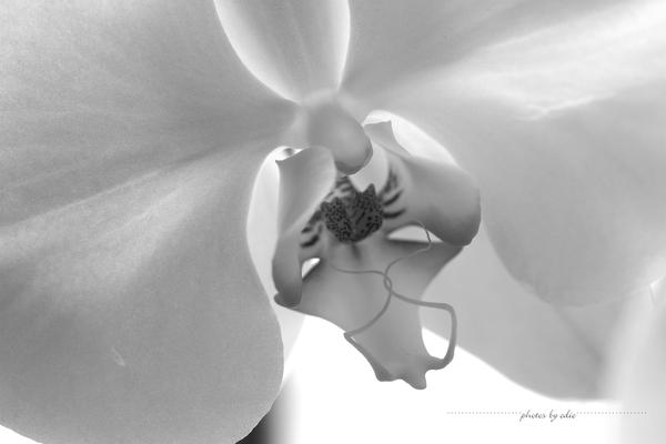 Orchid, Phalaenopsis by 1001G