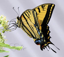 Swallowtail I by 1001G