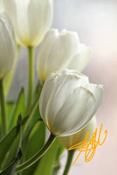 White Tulips,,,,,,for my friends and watchers by 1001G