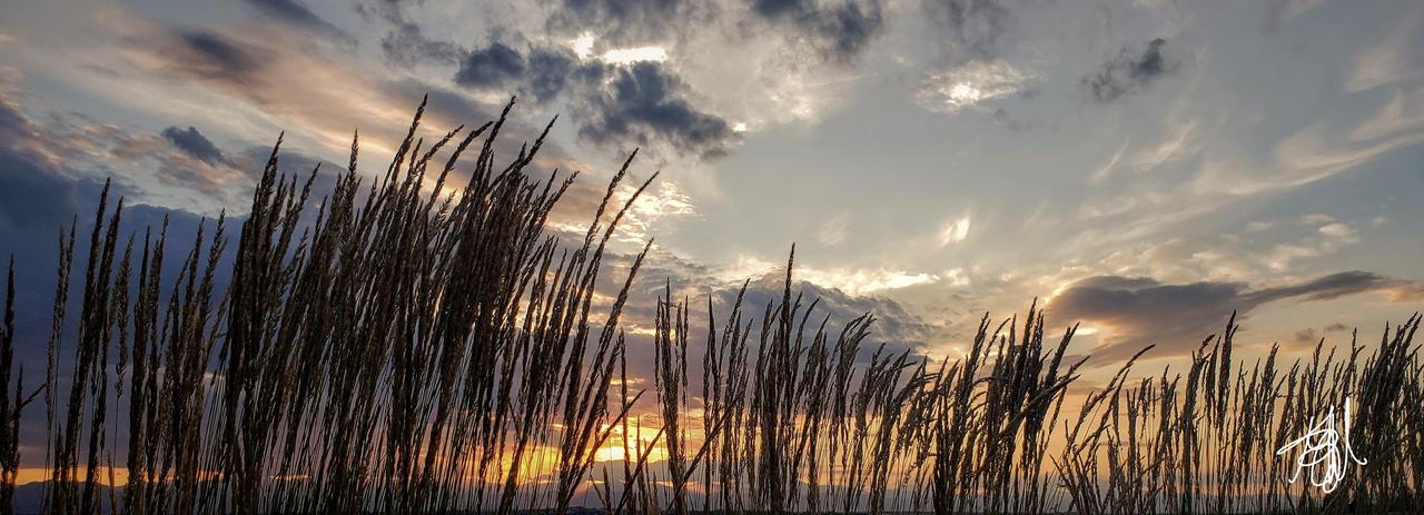 Evening grasses I