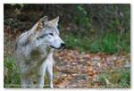 Lakota Wolf Preserve 05 by Mardonic