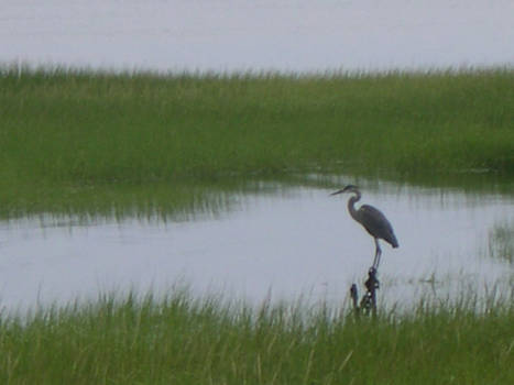 Heron in seagrass