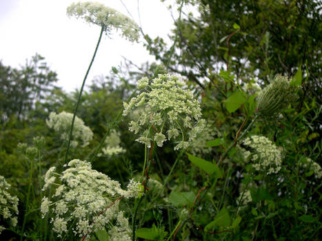 Queen Anne's lace group