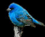 Blue Bird stock png