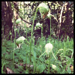 Nodding Greenhood Orchard by nelnel88