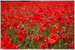 Field of Poppies by garnet2424