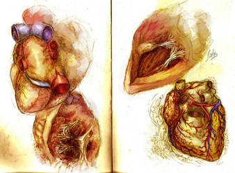 Heart Anatomy - Ventricles and Irroration by BenJogan