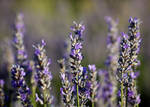 lavender one by SLHudgensPhoto