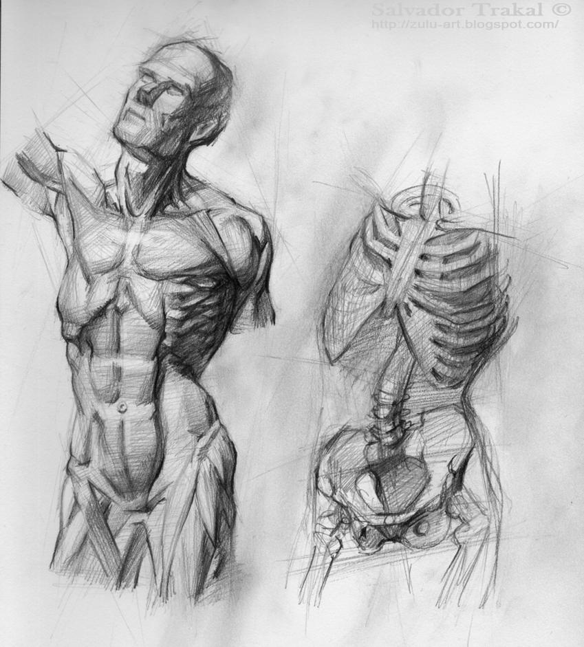 Anatomy Study by SalvadorTrakal on DeviantArt