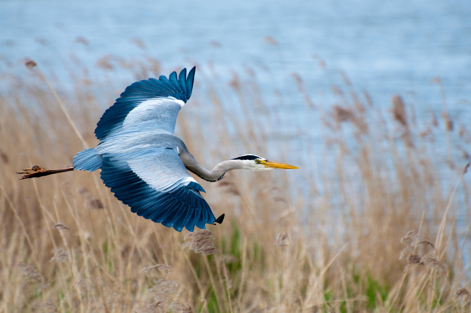 Close up heron in flight by artistmarty